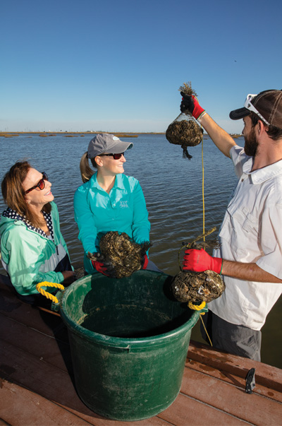 bayou vista oyster Oyster Gardening
