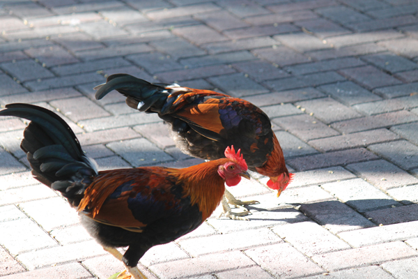 Chickens were brought into Key West by Cuban immigrants in the 1800s for the purpose of cockfighting. This was outlawed in the 1970s and now these birds roam the streets freely.