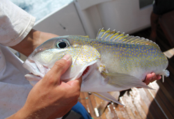 Connor Weigelt holds up a beautiful colored tilefish.