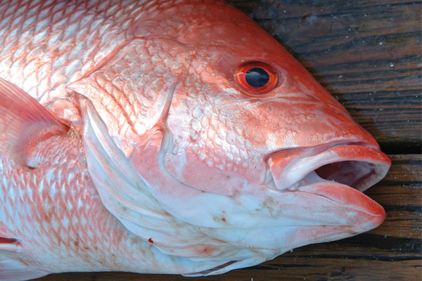 gulf red snapper Gulf of Mexico Red Snapper Season Extended