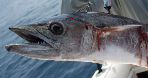 Kingfish are common offshore. Drift a ribbonfish or sardine rigged on a wire leader to find them.