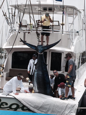 legacybluemarlin1 Revisiting The Legacys Blue Marlin State Record