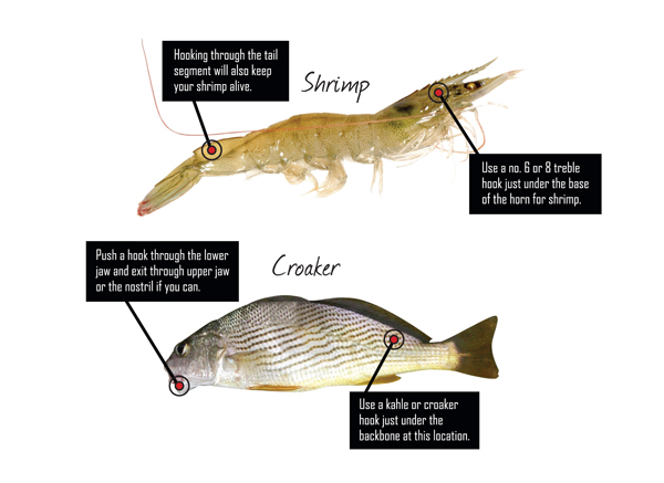 liveshrimpcroaker Which is the Best Trout Bait? Live Shrimp vs. Croaker
