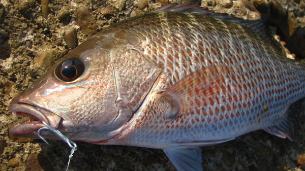 Tasty mangrove snapper are everywhere at the Port Aransas jetties. Some are too small to bother with but we were able to bag several in the 13-16 inch range. There is no minimum length or bag limit for these snapper in Texas state waters.