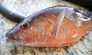 mangrove1 300x179 Fall Fishing Offshore TEXAS