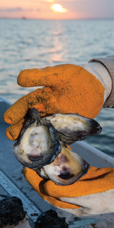 oliveoysters Oysters in Peril