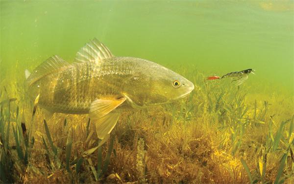 redfishyozuri
