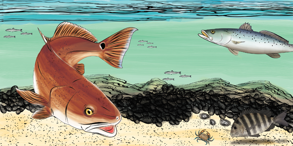 rowanredfishart1 Fishing Oyster Reefs