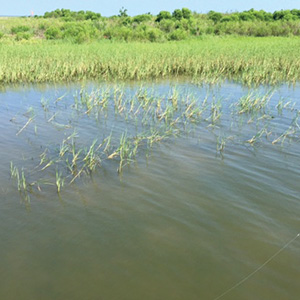 spartina The Importance of Galveston Sea Grass
