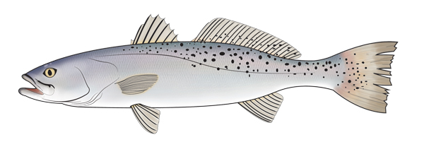 speck Galveston Bay Fish Consumption Advisories Updated for Speckled Trout