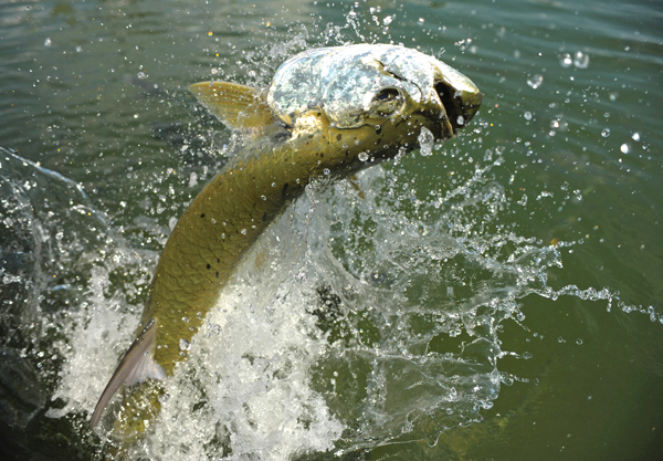 tarponjump Galveston Bay Fish Stocks Declining?