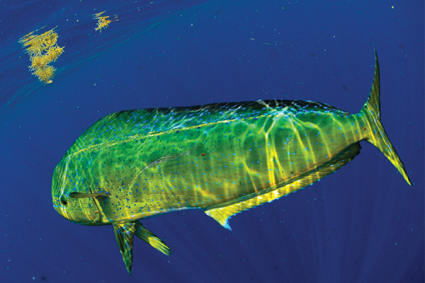 texas dorado Texas Weedlines: A Blessing For Offshore Anglers