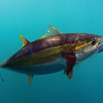 tunapop 150x150 Texas Yellowfin Tuna 101
