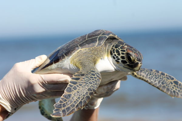 turtle Sea Turtles Released Back into Gulf