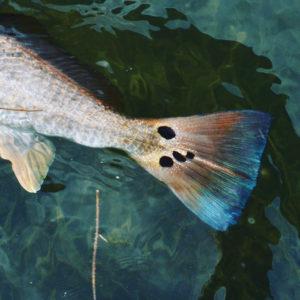 groce redfish 300x300 Marsh Fishing in Spring