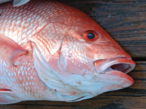 2018 red snapper season 300x225 TPWD Projects 82 Day Red Snapper Season