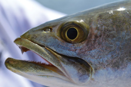 trout groce 450x300 Is it time to lower the limit on speckled trout?