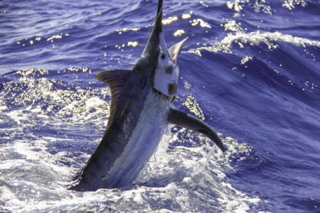 bmarlin 450x300 Texas Billfish Classic returns to Freeport Aug. 1 4