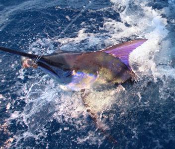 cabo marlin head 352x300 Fishing Cabo San Lucas