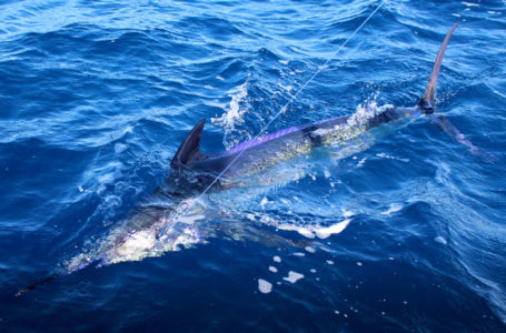 cabo san lucas marlin 455x300 2019 Texas Billfish Classic to be the best yet