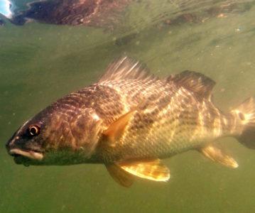 redfishshallows 359x300 The Keys to Shallow Redfish Success