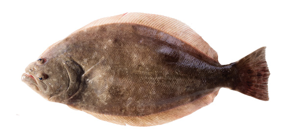 texas galveston flounder Changing Galveston Flounder Patterns